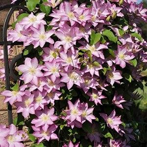 Rhizome de clématite,Clematis rhizome,Fleurs ornementales, plantes en pot de balcon, belles fleurs coupées. Convient pour la culture de jardins intérieurs et extérieurs.-14 Rhizome,1