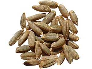 Seigle Admiraal NT – 100 grammes – Secale Cereale – Rye – (Engrais Vert – Green Manure) – SEM27