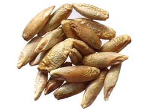 Seigle Pérenne – 100 grammes – Secale Multicaule – Rye – (Engrais Vert – Green Manure) – SEM02