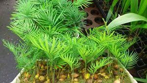 zumari 10 graines de plantes Cycas revoluta