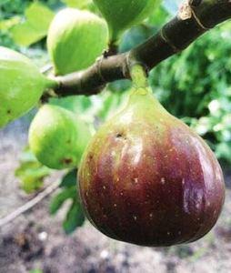 zumari 12 graines de Texas Everbearing Tree