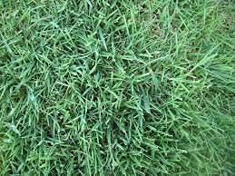 Aamish 100pcs graines de plantes Bentgrass
