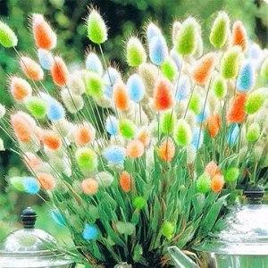 Aamish 100pcs graines de plantes d'herbe de queue de lapin