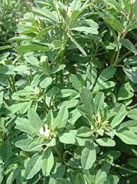 Aamish 20pcs graines d'herbes de haricot tamis parfumé Sweetgrass