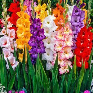 Bulbes à fleurs pour la floraison PRINTEMPS/ÉTÉ/AUTOMNE (10, Glaïeul en mélange)