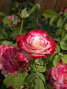 Genipap 100 pcs/lot Rose en rotin, grimper en rotin Rose, graines d'arbustes rustiques bonsaï plante maison jardin 14