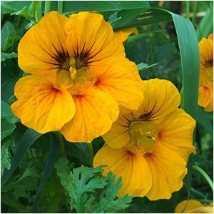 Genipap 30 graines de plantes Tropaeoleum nanum