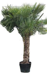 Lj4S – promo:lot de 2 très Grand Palmier -18°C:Trachycarpus Fortunei