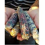 Pcs – 5 KG Arc-en-Ciel Maïs Verre Maïs Multicolore Graines Semences Jardin Plant SP9 – Seeds Plants Shop Samenbank Pfullingen Patrik Ipsa