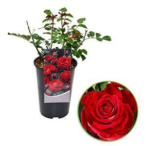 Rosa floribunda»Nina Rosa» | Rosier en pot | Fleurs rouges | Hauteur 40 cm | Pot Ø 17cm