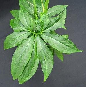 20 graines de pinellia pedatisecta dragon vert ou fan-leaf dragon vert chinois,