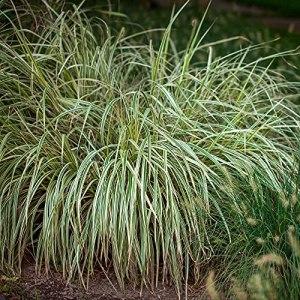 2x Carex brunnea VARIEGATA | Laîche verte | Plante d'extérieur | Hauteur 30-40cm | Pot Ø 14cm