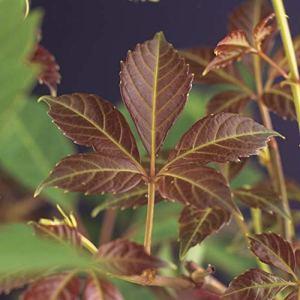 2x Parthenocissus henryana   Vignes-vierges de Chine   Plante vivace   Hauteur 65-75cm   Pot Ø 15cm