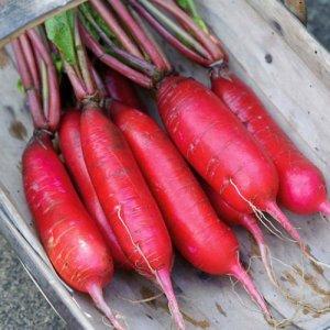Chine Rose Radis Heirloom Seeds – non OGM – Non traité – pollinisation libre (~ 250 graines)