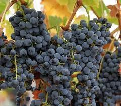 Genipap 15 graines de fruits de raisin Cabernet Sauvignon