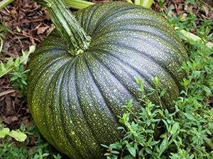 Genipap 20pcs graines de plantes de basilic
