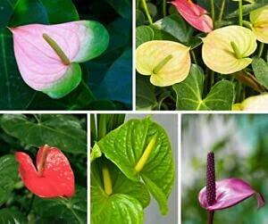 Genipap 80pcs graines de fleurs de lisianthus