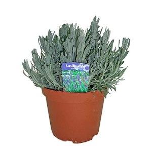 Herbe de Botanicly – Lavande vraie – Hauteur: 30 cm – Lavandula angustifolia