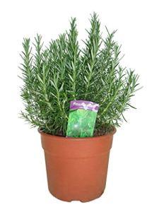 Herbes – 2 × Romarin – Hauteur: 50 cm