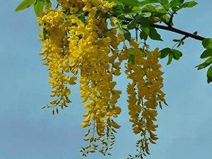 Lot de 10 graines de laburnum anagyroïdes communes Laburnum chaîne dorée