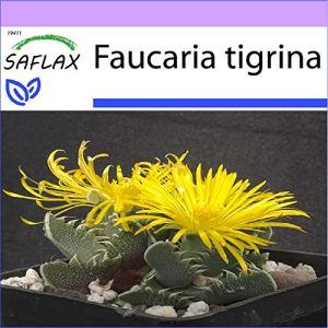 SAFLAX – Gueule de tigre – 40 graines – Faucaria tigrina