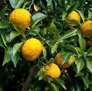 Yuzu – Citrus junos – Citron japonais