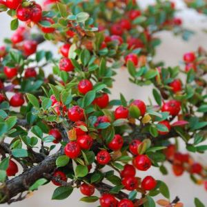 zumari 20pcs graines de fruits Rockspray Cotoneaster