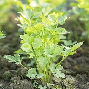 FStening 100 Pièces Graines De Coriandre Brillantes Accrocheuses Herbes Annuelles Vertes Légumes Ferme Cour Plantation Créer Bel Environnement
