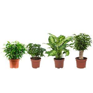 Mix (Ficus x2, Plante à café, Dieffenbachia compacta) | 4 plantes | plante d'intérieur| hauteur 25 cm | Pot 12 cm | Entretien facile