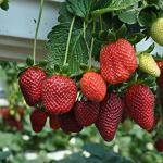 Fraise rouge grimpante fraise fruit plante graines maison jardin nouveau 300 pcs