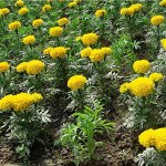 Liziya Graines de rares,Graines de souci végétal résistantes au Froid Quatre Saisons-Jaune 100 gélules,Fleur Graines
