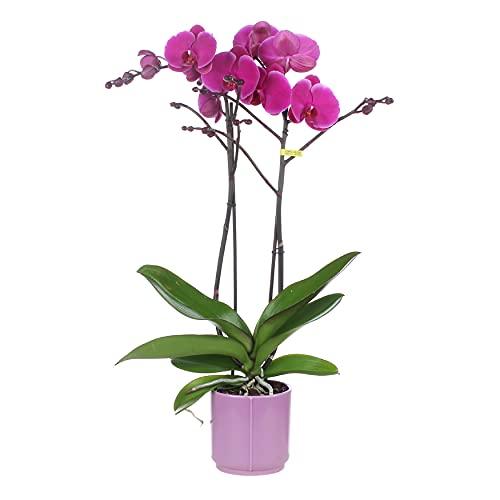 Orchidée | Phalaenopsis violet chacun – dans un pot en céramique lilas ⌀12 cm – 45 cm