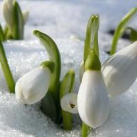 ȘAPTE curiozități despre GHIOCEL, floarea care vestește primăvara. Dincolo de aspectul fragil ascunde adevărate povești