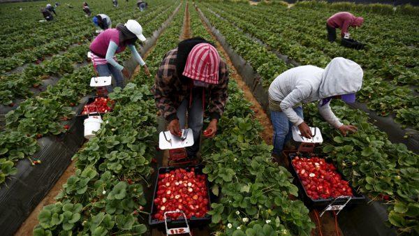 150 locuri de muncă în domeniul agricol (recoltare, ambalare fructe) în Spania prin intermediul Reţelei EURES