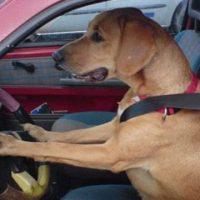Şoferii care îşi ţin animalele de companie pe locurile din faţă riscă să fie amendaţi