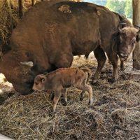 Românaș, fratele zimbru de la Rezervația Hațeg