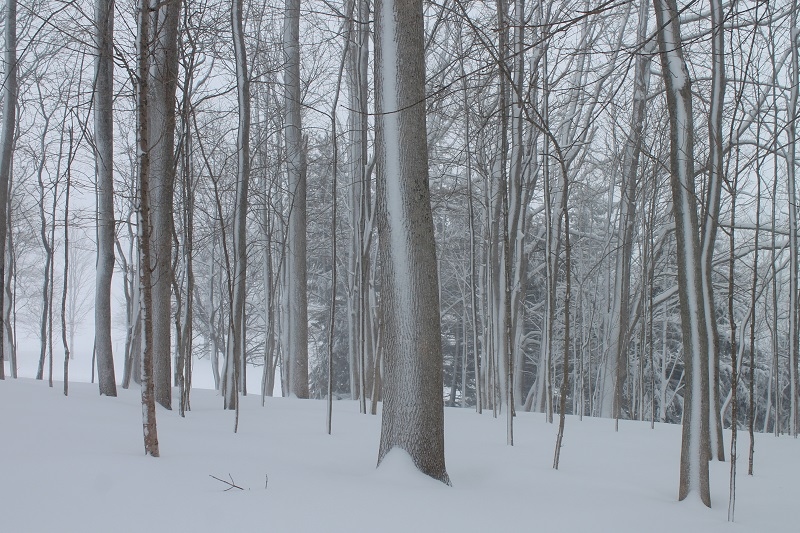 blizzard, snow, winter, February, 2017, forest,