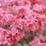 Des fleurs de rhododendron pour commencer la semaine et unhellip
