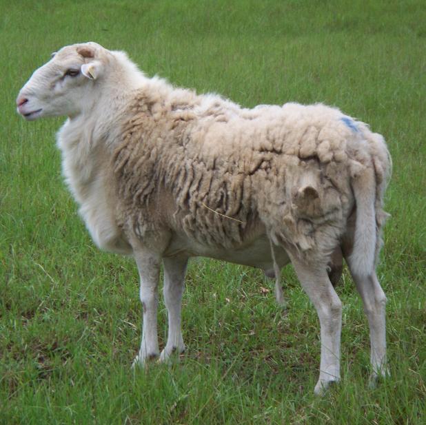 Goats Grazing Farm