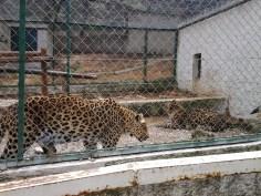 41. Tigre