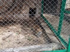 53. Tigre panthère