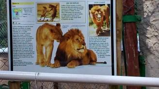 61. Lion