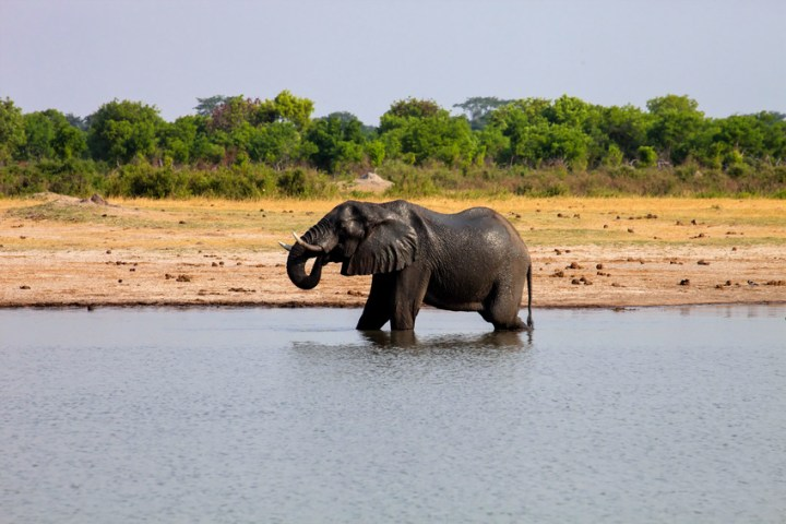 male African elephant drinking in a waterhole Hwange National Park, Zimbabwe
