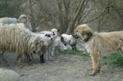 brebis et chiens en Roumanie