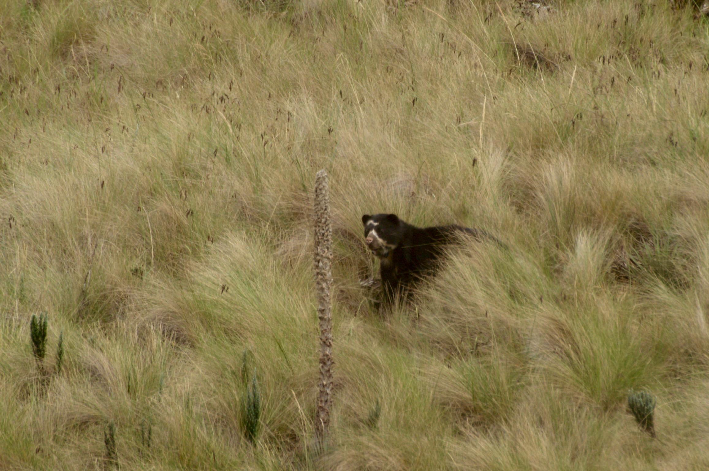 Soutenez les actions d'Andean Bear Foundation pour l'ours à lunettes, le tapir et la faune d'Equateur