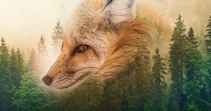 portrait de renard sur un fond de forêt de sapins, avec un ciel doré