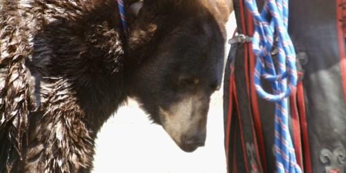 Non à l'exploitation de l'ours Valentin au Puy-en-Velay les 19, 20 et 21 septembre 2019