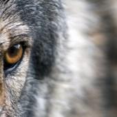 La conservation du loup en plaine lorraine
