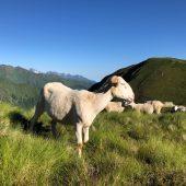 Mission d'écoute des éleveurs et bergers confrontés aux grands prédateurs en Ariège