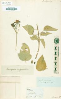 Jatropha integerrima, Humboldt, Bonpland, Cuba (Quelle: Herbarium Berolinense)